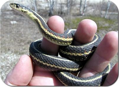 Red Sided Garter Snake