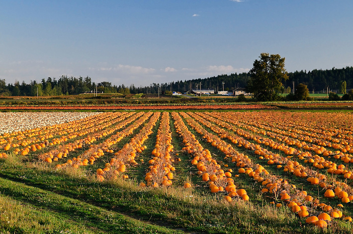 Pumpkin Patch in Saanich