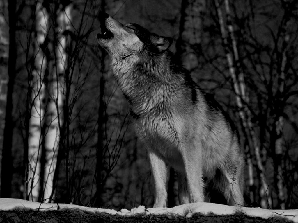 Grey Wolf Howling at Moon